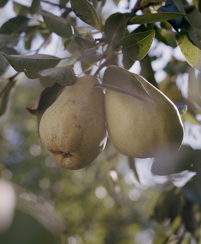 5. LADOCSI András: Két körte / Two pears