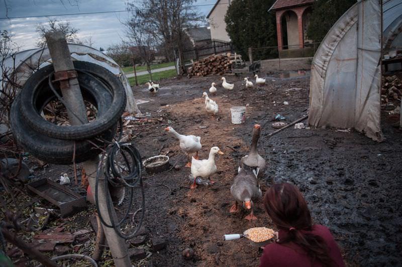 Móricz-Sabján Simon: Libák és kacsák a családi ház udvarán. Borsosék baromfi állománya évről évre csökken