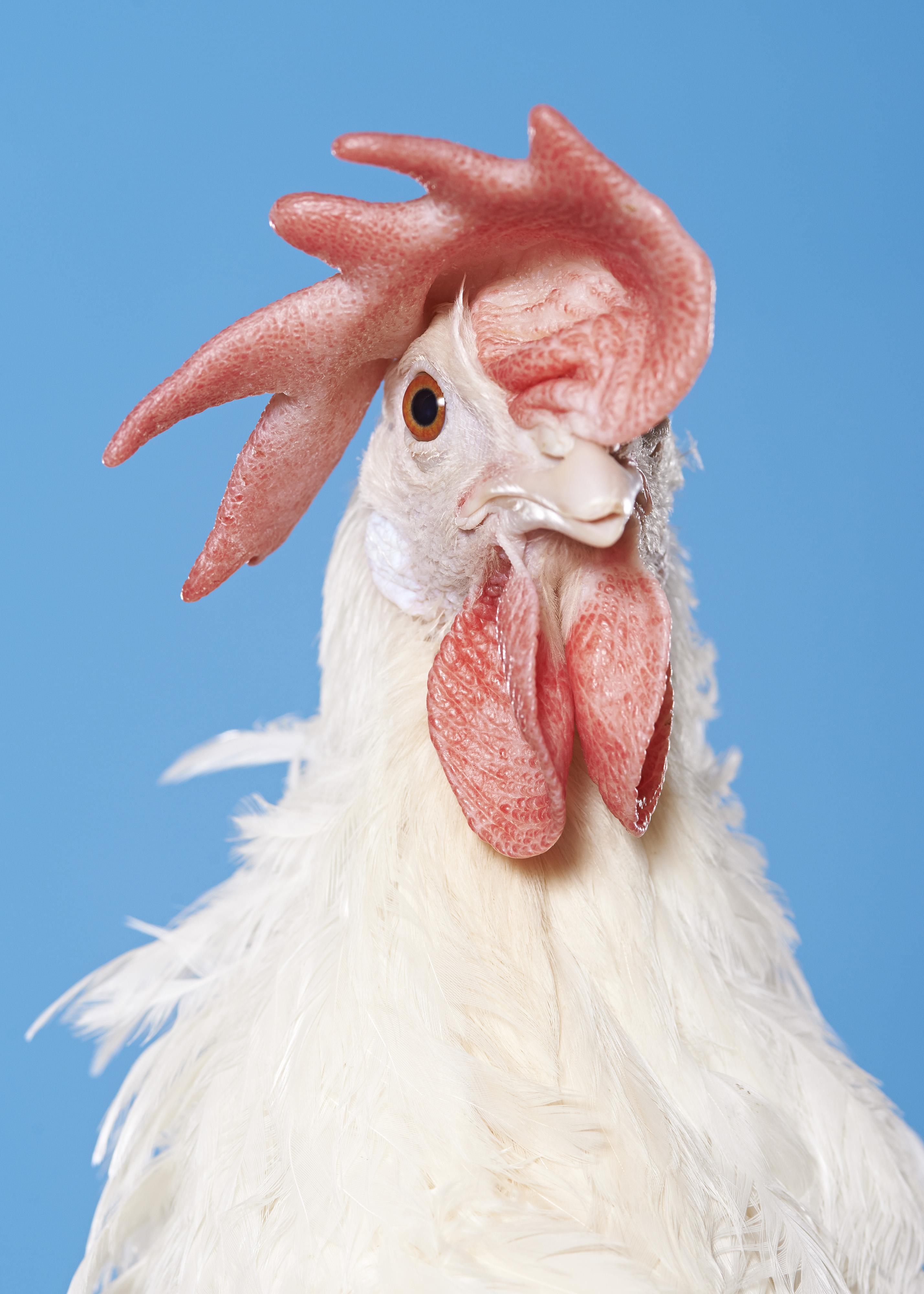 SZALAI Dániel: Chicken 5115 (from the project Novogen) / Az 5115-ös tyúk (A Novogen projektből) 2017